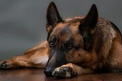 德国牧羊犬 狗生气所有者去 免版税图库摄影