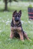 年轻德国牧羊犬画象 库存照片