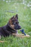 年轻德国牧羊犬画象 免版税库存图片