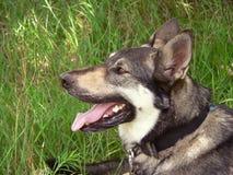 德国牧羊犬 库存照片