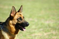 德国牧羊犬 免版税库存照片