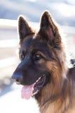 德国牧羊犬 免版税图库摄影