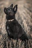 年轻德国牧羊犬 库存照片