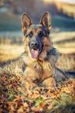 德国牧羊犬 免版税库存图片