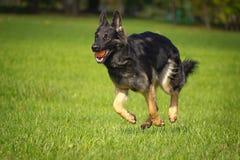 德国牧羊犬 图库摄影