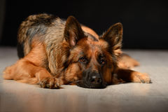 德国牧羊犬Irize Bona Mente 免版税库存照片