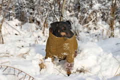 德国狩猎狗 免版税库存图片