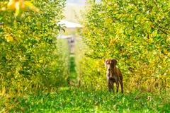 德国短毛指针狩猎在苹果树 库存图片