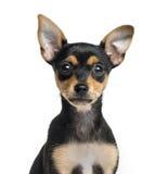 德国短毛猎犬小狗的特写镜头, 2个月 免版税库存图片