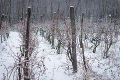 德国莱茵河谷葡萄园冬天 免版税库存图片