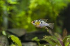 德国蓝色公羊丽鱼科鱼(科学名字: Microgeophagus ramirezi) 免版税库存图片