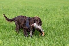 德国西班牙猎狗狗wachtel 库存图片