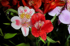 德国锥脚形酒杯 从南美的花 在黑色背景 图库摄影