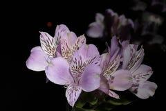 德国锥脚形酒杯 从南美的花 在黑色背景 库存图片