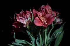 德国锥脚形酒杯 从南美的花 在黑色背景 库存照片