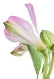 德国锥脚形酒杯 在轻的背景的美丽的花 免版税库存照片