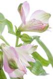德国锥脚形酒杯 在轻的背景的美丽的花 免版税库存图片