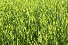 德国,巴伐利亚, Ebenhausen,拉伊(Secale cereale)领域 免版税库存照片