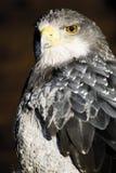 德国,黑伦塔尔,黑有胸腔的肉食老鹰 免版税库存照片