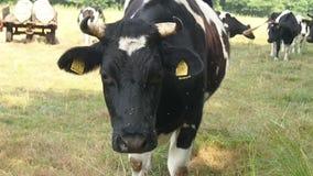 德国黑五颜六色的低地牛肉牧群  股票视频
