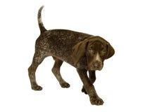 德国头发的指针小狗短小 免版税库存照片