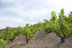 德国绿色葡萄园 免版税库存照片