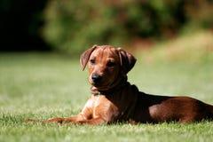 德国pincher小狗 库存图片