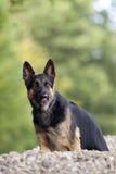德国Shepard狗 库存图片