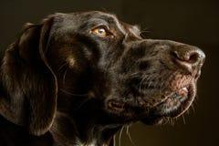德国Shorthair尖猎犬的特写镜头 库存照片