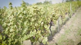 德国wineyard秋天英尺长度掀动转移透镜 股票录像