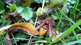德国yellowjacket、欧洲黄蜂或者德国黄蜂拉特 群居黄蜂germanica 库存照片