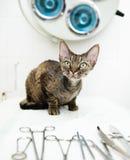德文郡在兽医诊所的rex猫在医疗工具附近 图库摄影