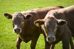 德文郡小牛 免版税库存照片