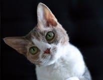 德文郡雷克斯猫 免版税库存照片