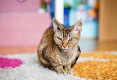 德文郡雷克斯纯血统家猫 库存图片