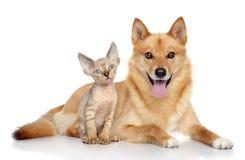 德文郡rex小猫和芬兰波美丝毛狗在白色背景 库存照片