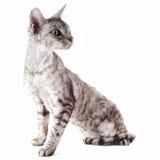 德文郡rex猫 免版税库存照片