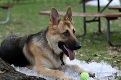 德语坐在冰的Shepard从打球疲倦了 库存照片