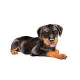 黑德语Rottweiler Metzgerhund, Rott, Rottie在白色背景的品种狗水彩画象  免版税库存照片