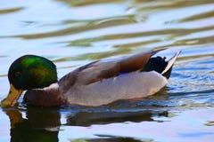 德雷克野鸭饮用水 库存照片