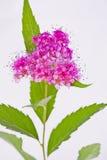 心形的桃红色荚莲属的植物开花 库存图片