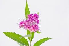 心形的桃红色荚莲属的植物tinus 免版税库存图片