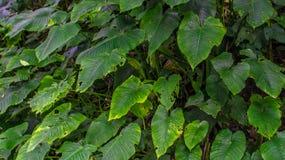 心形的绿色叶子树桩  图库摄影