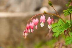 心形的花(Lamprocapnos) 免版税库存照片