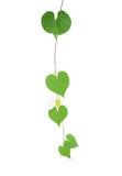 心形的绿叶留给热带野生藤微小的白色 库存图片
