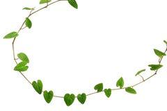 心形的绿色叶子藤, Raphistemma hoope自然框架  免版税图库摄影