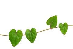 心形的绿色叶子藤, Raphistemma hooperianum链子( 库存照片