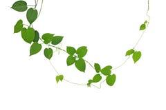 心形的绿色在白色backgr隔绝的叶子climbling的藤 库存图片