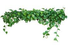 心形的绿色留下藤,恶魔` s常春藤,金黄pothos, isol 免版税库存照片