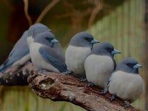 心爱的允诺的富感情的小组栖于与灰色&白色全身羽毛的鸟 免版税库存照片